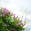 Beautiful Lilac Tree with Flowers over Bright Sky — Stock Photo