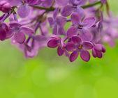 Lila lila vårblommor på grön bakgrund — Stockfoto