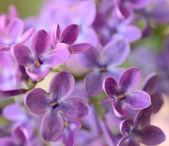 Lila lila Frühlingsblumen auf grünem Hintergrund — Stockfoto