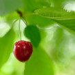 Sweet and Juicily Ripe Cherries on a Tree Branch — Stock Photo #50048723