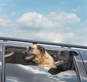 Dogs on a Car Ride — Stock Photo