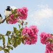 Carolina Chickadees poecile carolinensis in a Blooming Crape Myr — Stock Photo