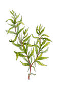 Sprig of rosemary. Watercolor illustration — 图库照片
