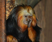 Golden lion tamarin — Stockfoto