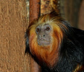 Golden lion tamarin — Foto de Stock