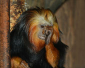Golden lion tamarin — Stock fotografie