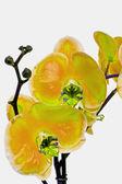 Orquide — Fotografia Stock