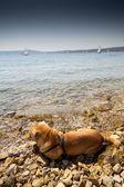 Sharpei w beach — Zdjęcie stockowe
