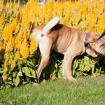 Sharpei dog — Stock Photo