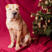 Christmas sharpei dog — Stock Photo