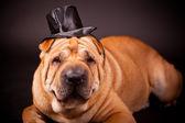 Sharpei dog waring stovepipe — Stock Photo