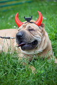 Sharpei dog as devil — Stock Photo