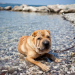 sharpei dog — Stock Photo