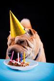 Sharpei dog celebrating birthday — Stock Photo