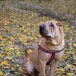 Sharpei dog — Stock Photo #30058541