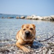 Stock Photo: Sharpei dog