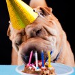 Sharpei dog celebrating birthday — Stock Photo #40713841