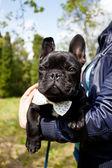 Franse bulldog dragen stropdas — Stockfoto