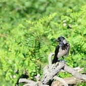 Hooded Crow — Stock Photo