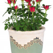 Blossoming rose plant in flowerpot — Stock Photo #6313205