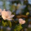 Quince blossom in evening — Foto Stock #19741019