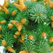 Green fir-tree branch with cones — Stock Photo