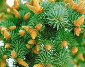 绿色的杉木树分支与锥体 — 图库照片