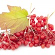 Viburnum — Stock Photo #13816988
