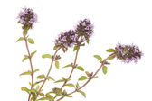 Purple thyme — Stock Photo