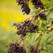 Stock Photo: Elderberry