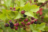 Blackberry bush — Stock Photo