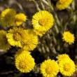 Coltsfoot — Stock Photo #36696529