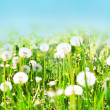 Stock Photo: White dandelions on blue sky background