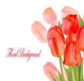 Beautiful tulips isolated on white background — Stock Photo