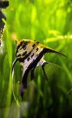 Peixes de aquário, rodeados por vegetação colorida — Fotografia Stock