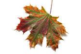 Jesień klon suchy liść na białym tle — Zdjęcie stockowe