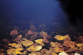 Dark water and drowning yellow autumn leaves — Stock Photo