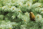 Green needle pine tree with cones — Stock Photo