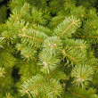 Green needles of coniferous tree — Stockfoto