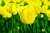 Tulipa amarela grande — Foto Stock