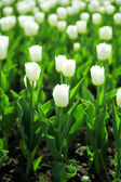 Gentle white tulips on summer flower bed — Stock Photo
