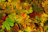 Brightly colored autumn leaves — Stock Photo
