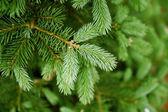 Green needles of pine tree — Stock Photo