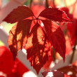Stock Photo: Parthenocissus quinquefolia