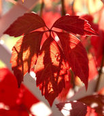 Parthenocissus quinquefolia — Stock Photo
