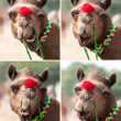 Nice smile elegant camel. — Stock Photo
