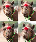 Nice smile elegant camel. — Stock Photo