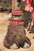 Decorated camel foot — Stock Photo