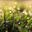 Fresh morning dew on spring grass, natural background - Stock Photo