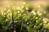 Fraîche rosée sur l'herbe de printemps, fond naturel — Photo